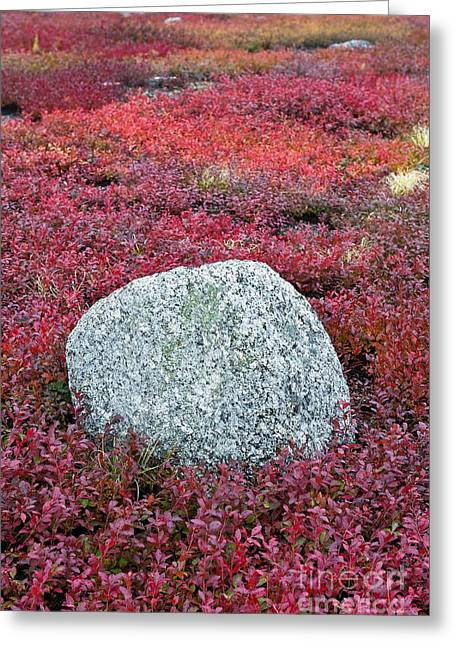 Maine Agriculture Greeting Cards - Autumn blueberry field Greeting Card by John Greim