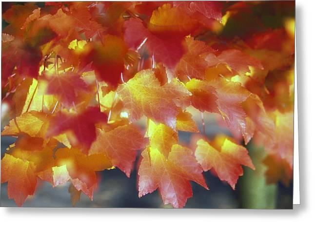 Changing Colour Greeting Cards - Autumn Color Of Maple Tree Leaves Greeting Card by Natural Selection Craig Tuttle