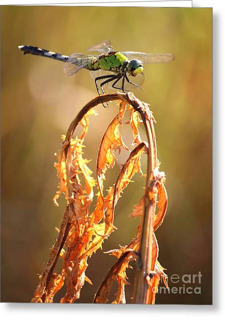 Golden Marsh Greeting Cards - Autumn Dragonfly Greeting Card by Carol Groenen