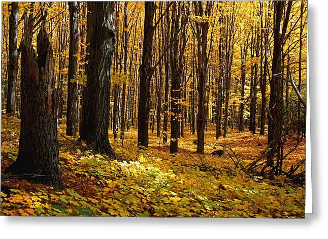 Qc Greeting Cards - Autumn Forest Greeting Card by Natural Selection David Chapman