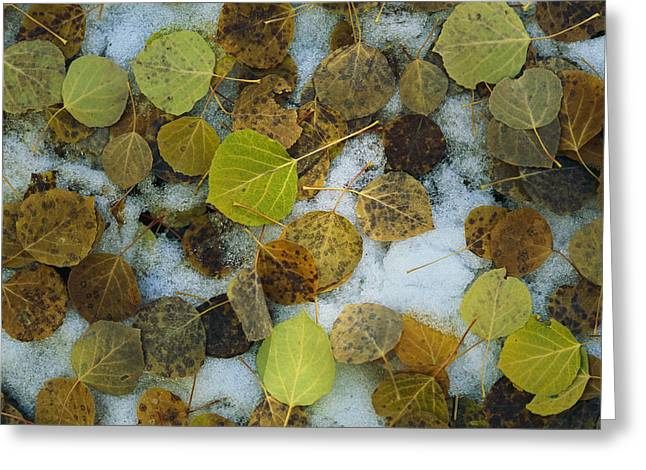 Plant Color Changes Greeting Cards - Autumn-hued Leaves Lying On The Ground Greeting Card by Bill Curtsinger