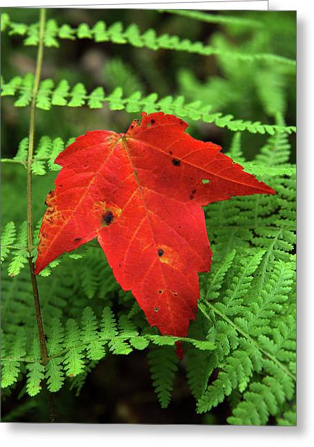 Forest Floor Greeting Cards - Autumn Maple Leaf on Green Ferns Greeting Card by John Stephens