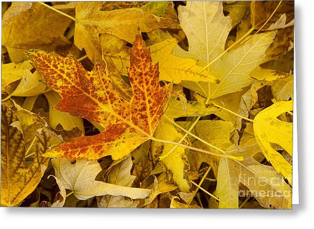 Autumn Prints Greeting Cards - Autumn Maple Leaves Abstract  Greeting Card by James BO  Insogna