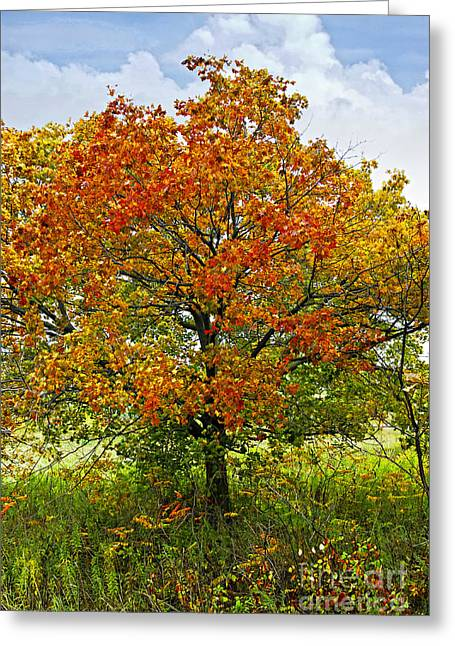 Autumn Greeting Cards - Autumn maple tree Greeting Card by Elena Elisseeva