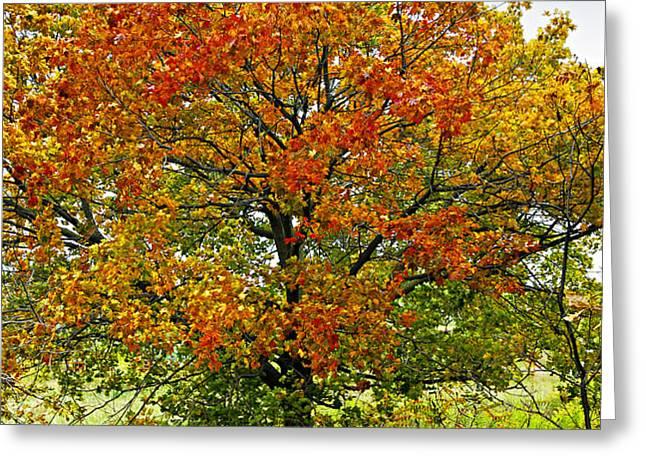 Autumn maple tree Greeting Card by Elena Elisseeva