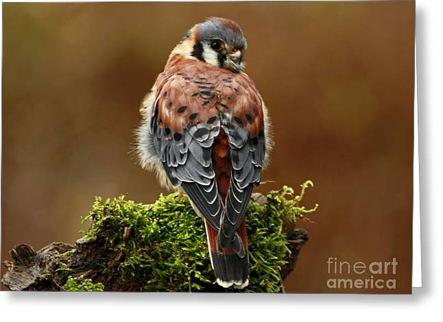 Shelley Myke Greeting Cards - Autumn Rain American Kestrel Greeting Card by Inspired Nature Photography By Shelley Myke