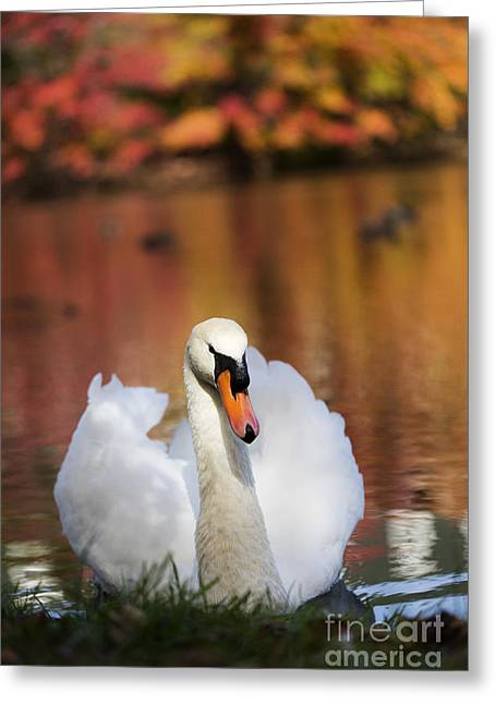 Leda Photography Greeting Cards - Autumn Swan Greeting Card by Leslie Leda