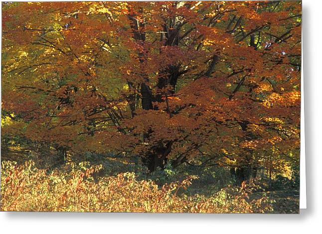 Autumn Tree Greeting Card by David Chapman