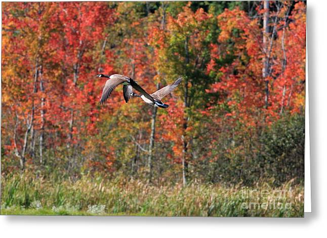 Autumn Vermont Geese And Color Greeting Card by Deborah Benoit