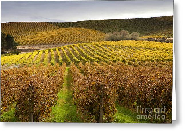 Grapevine Photographs Greeting Cards - Autumn Vines Greeting Card by Mike  Dawson
