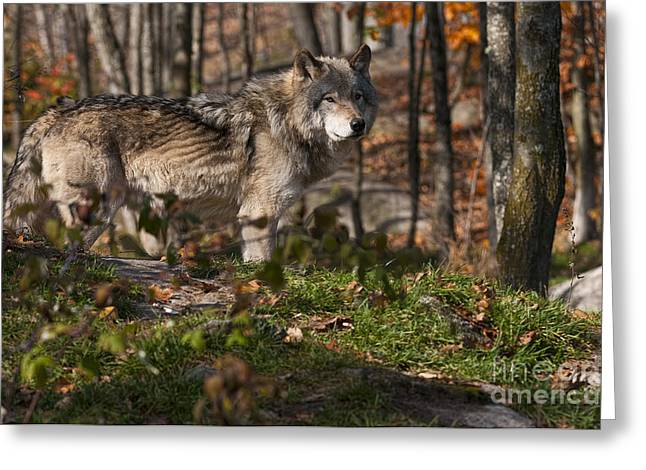 Black. Timber Wolf Photography Greeting Cards - Auturnn Timber Wolf Greeting Card by Michael Cummings