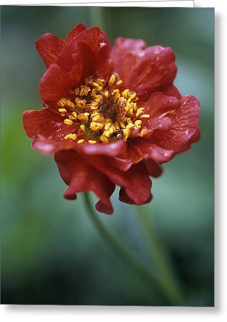 Avens Greeting Cards - Avens (geum mrs Bradshaw) Greeting Card by Maxine Adcock