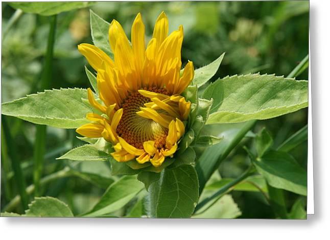 Sunflowers Greeting Cards - Awakening Sunflower  Greeting Card by Neal  Eslinger