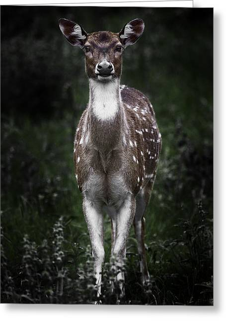 Barry Styles Greeting Cards - Axis Deer 2 Greeting Card by Barry Styles