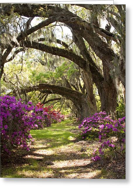 Plantation Photographs Greeting Cards - Azaleas and Live Oaks at Magnolia Plantation Gardens Greeting Card by Dustin K Ryan