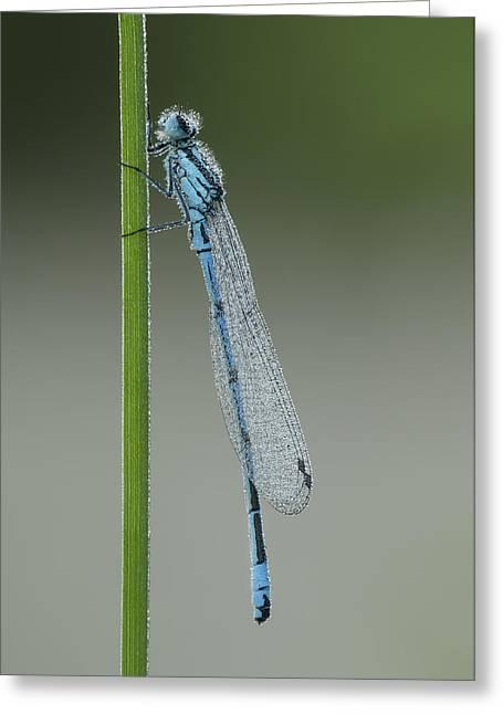 Damsel Fly Greeting Cards - Azure Damselfly Greeting Card by Andy Astbury