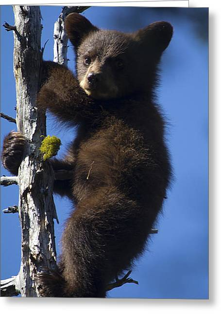Baby Bear Greeting Card by Clinton Nelson