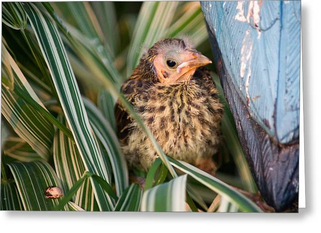 Baby Bird Hiding in Grass Greeting Card by Douglas Barnett