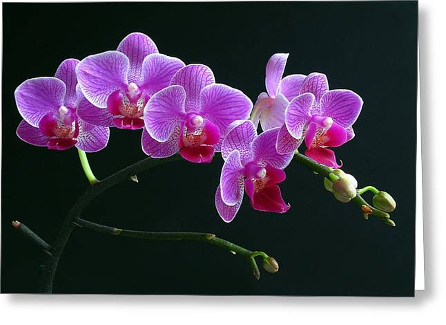 Orchid Canvas Greeting Cards - Baby Bloomers Greeting Card by Juergen Roth