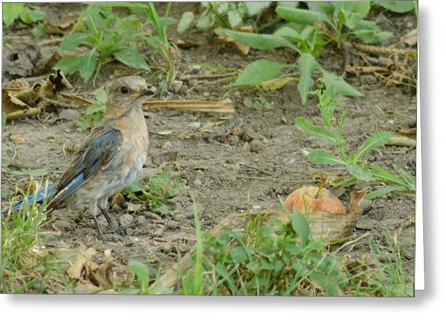 Back Yard Birds Greeting Cards - Baby Bluebird with Apple Greeting Card by Maria Suhr