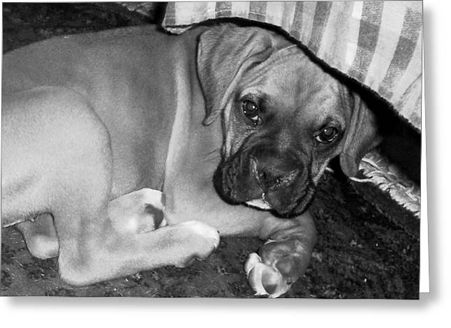 Puppy Greeting Cards - Baby Boxer Puppy Greeting Card by Tisha McGee