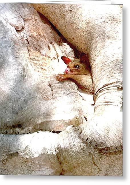 Darren Stein Photographs Greeting Cards - Baby Brushtail Possum 2 Greeting Card by Darren Stein
