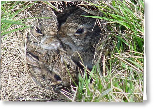 Bunny Greeting Cards - Baby Bunnies Greeting Card by Marsha Elliott