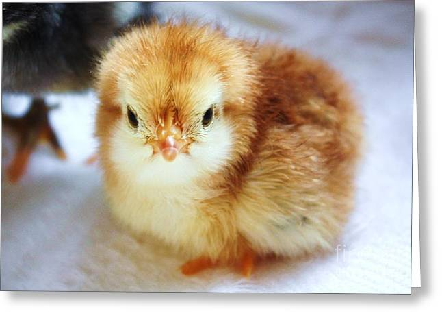 Fluffy Chickens Greeting Cards - Baby chicken new born Greeting Card by Simon Bratt Photography LRPS