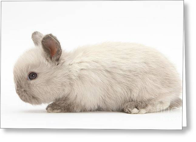 Colorpoint Greeting Cards - Baby Colorpoint Rabbit Greeting Card by Mark Taylor
