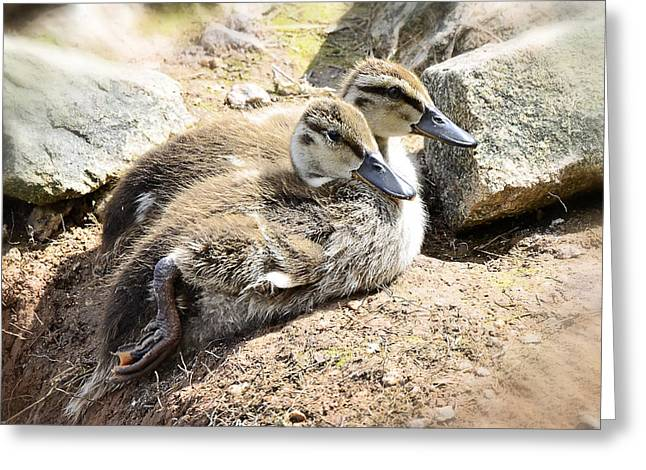 Baby Mallards Greeting Cards - Baby Duckies  Greeting Card by Saija  Lehtonen