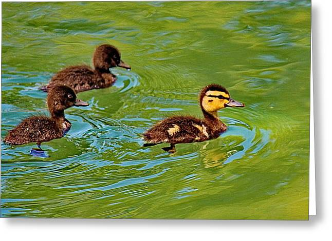 Baby Bird Greeting Cards - Baby Ducks Greeting Card by Russ Harris