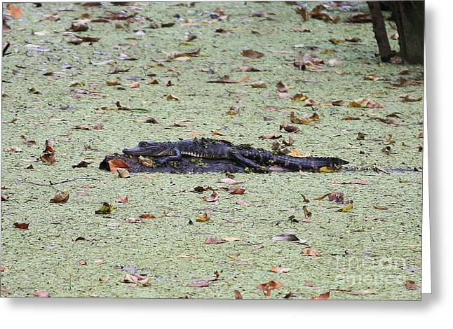 Florida Gators Greeting Cards - Baby Gator in the Swamp Greeting Card by Carol Groenen