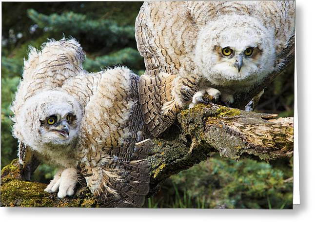 The Tiger Greeting Cards - Baby Great Horned Owls Bubo Virginianus Greeting Card by Steve Nagy