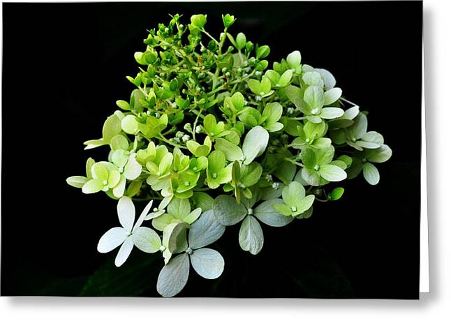 Botanical Greeting Cards - Baby Hydrangea Greeting Card by Lisa  DiFruscio
