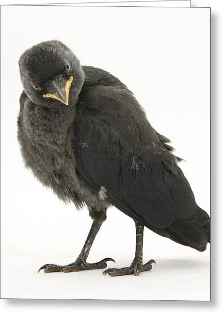 Jackdaws Greeting Cards - Baby Jackdaw Greeting Card by Mark Taylor
