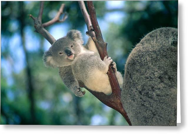 Koala Art Greeting Cards - Baby Koala Bear Greeting Card by Himani - Printscapes