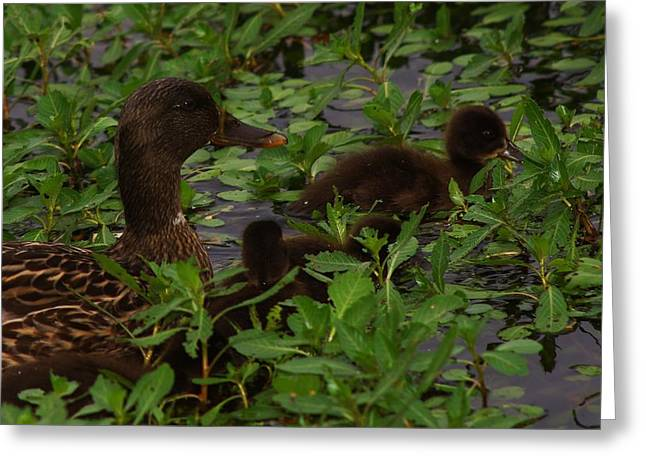 Baby Mallards Greeting Card by Billy  Griffis Jr