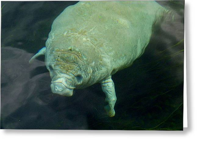 Baby Manatee Greeting Card by Carla Parris