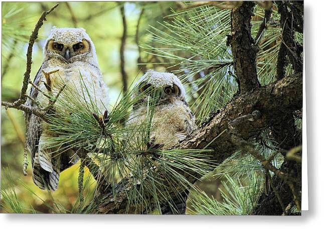 Tv Contest Greeting Cards - Baby Owls Greeting Card by John  Greaves