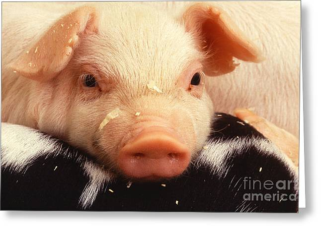 Pig Photographs Greeting Cards - Baby Piglet Greeting Card by Science Source