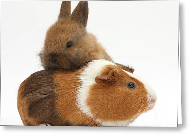 House Pet Greeting Cards - Baby Rabbit And Guinea Pig Greeting Card by Mark Taylor