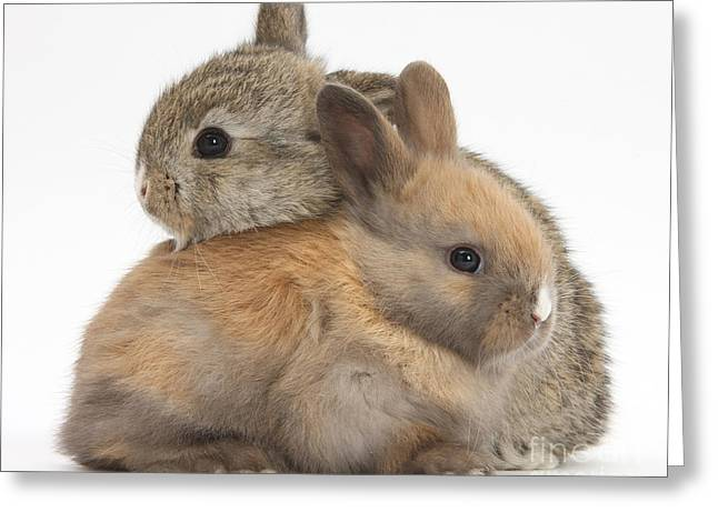 Baby Rabbits Greeting Card by Mark Taylor