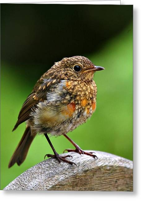 Global Greens Greeting Cards - Baby Robin Greeting Card by Mark Stokes