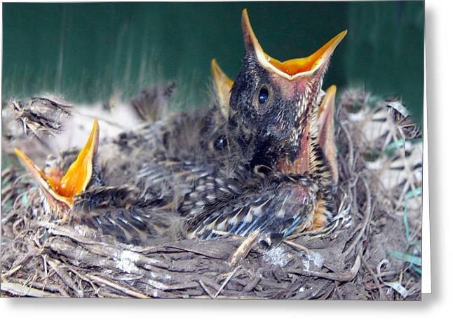 Birds In A Nest Greeting Cards - Baby Robins Ready for Dinner Greeting Card by Amelia Painter