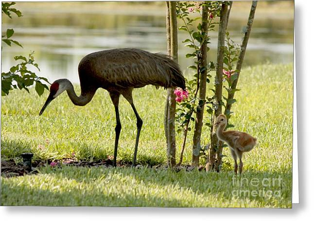 Baby Bird Greeting Cards - Baby Sandhill with Mom Greeting Card by Carol Groenen