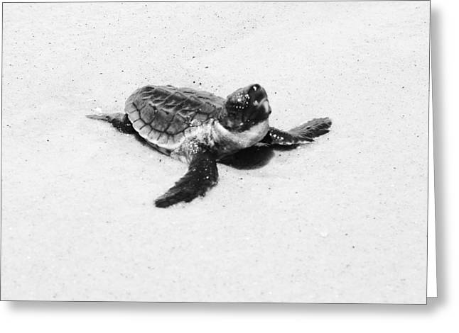 Baby Sea Turtle  Greeting Card by Lillie Wilde