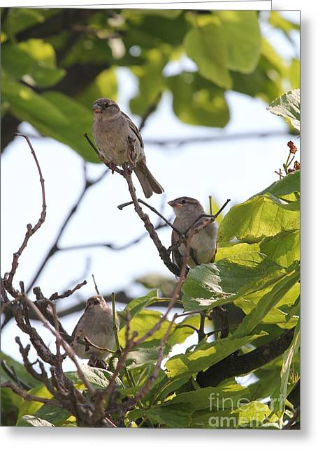 Setting Framed Prints Greeting Cards - Baby Sparrows Greeting Card by Scenesational Photos