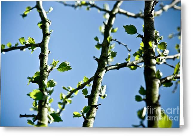Baby Spring Tree Leaves 01 Greeting Card by Ryan Kelly