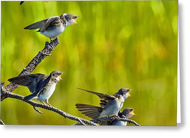 Baby Tree Swallows Feeding #1 Greeting Card by John Stoj