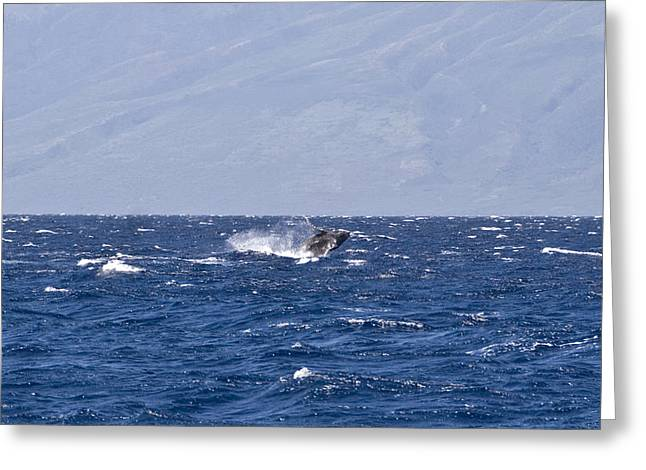 Whale Watching Greeting Cards - Baby Whale Breach Greeting Card by Chris Ann Wiggins